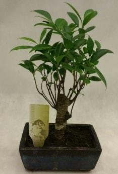 Japon ağacı bonsai bitkisi satışı  Sakarya 14 şubat sevgililer günü çiçek
