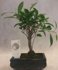 Bonsai japon ağacı bitkisi satışı  Sakarya cicek , cicekci
