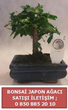 Japon ağacı minyaür bonsai satışı  Sakarya anneler günü çiçek yolla