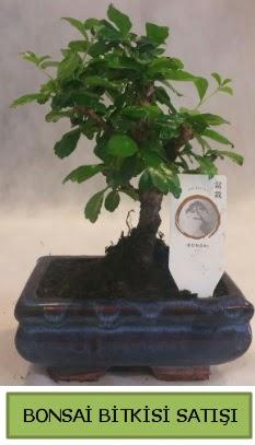 Bonsai ithal görsel minyatür japon ağacı  Sakarya çiçek online çiçek siparişi