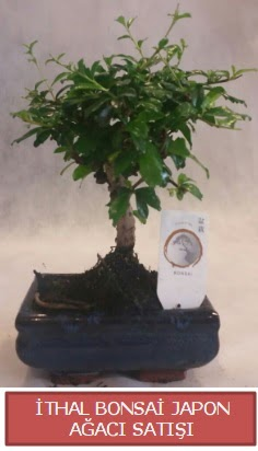 İthal küçük boy minyatür bonsai ağaç bitkisi  Sakarya 14 şubat sevgililer günü çiçek