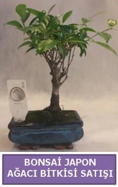 İthal Bonsai japon ağacı bitkisi satışı  Sakarya online çiçek gönderme sipariş
