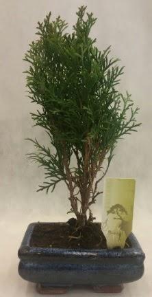 SINIRLI SAYIDA ÜRÜN Selvi Bonsai  Sakarya online çiçek gönderme sipariş