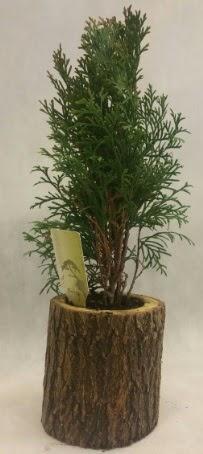 SINIRLI STOK Selvi Bonsai Doğal kütükte  Sakarya online çiçek gönderme sipariş