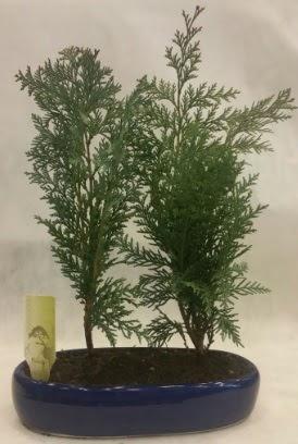 SINIRLI SAYIDA Selvi Ağacı bonsai ikili  Sakarya 14 şubat sevgililer günü çiçek