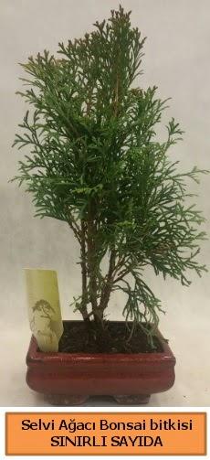 Selvi ağacı bonsai japon ağacı bitkisi  Sakarya anneler günü çiçek yolla