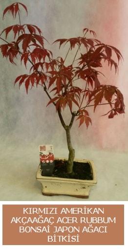 Amerikan akçaağaç Acer Rubrum bonsai  Sakarya çiçek gönderme