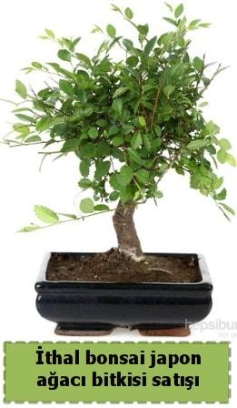 İthal bonsai saksı çiçeği Japon ağacı satışı  Sakarya online çiçek gönderme sipariş