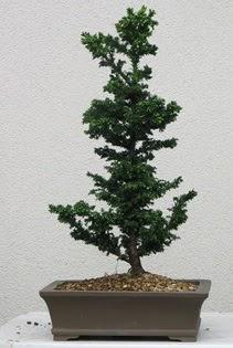 Çam ağacı bonsai bitkisi satışı  Sakarya 14 şubat sevgililer günü çiçek