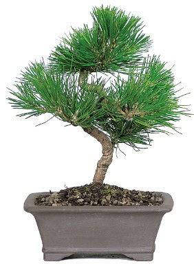 Çam ağacı bonsai japon ağacı bitkisi  Sakarya uluslararası çiçek gönderme