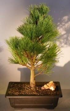Çam ağacı japon ağacı bitkisi bonsai  Sakarya 14 şubat sevgililer günü çiçek