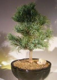 Çam ağacı bonsai bitkisi satışı  Sakarya çiçek online çiçek siparişi