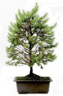 *** STOKTA YOK - Çam ağacı bonsai bitkisi satışı  Sakarya çiçek yolla