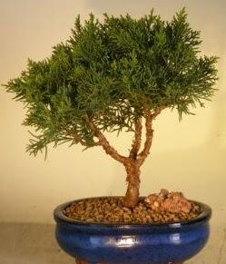 Servi çam bonsai japon ağacı bitkisi  Sakarya cicekciler , cicek siparisi