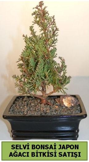 Selvi çam japon ağacı bitkisi bonsai  Sakarya 14 şubat sevgililer günü çiçek
