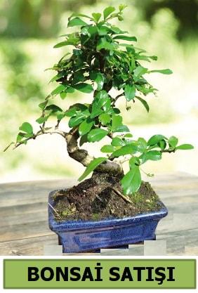Çam bonsai japon ağacı satışı  Sakarya anneler günü çiçek yolla