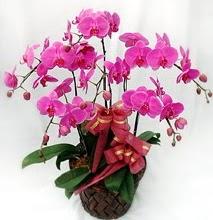 Sepet içerisinde 5 dallı lila orkide  Sakarya çiçek online çiçek siparişi
