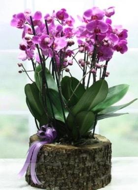 Kütük içerisinde 6 dallı mor orkide  Sakarya çiçek online çiçek siparişi