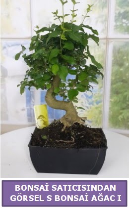 S dal eğriliği bonsai japon ağacı  Sakarya anneler günü çiçek yolla