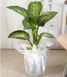 Tropik saksı çiçeği bitkisi  Sakarya anneler günü çiçek yolla