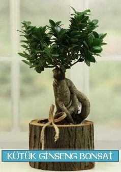 Kütük ağaç içerisinde ginseng bonsai  Sakarya cicek , cicekci