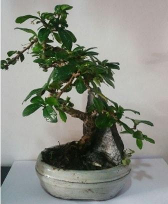 S şeklinde ithal bonsai ağacı  Sakarya cicekciler , cicek siparisi