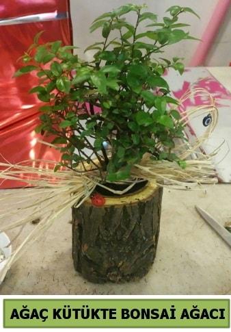 Doğal ağaç kütük içerisinde bonsai ağacı  Sakarya cicek , cicekci