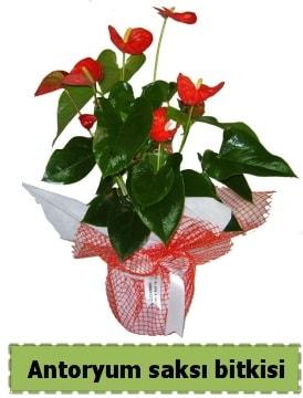 Antoryum saksı bitkisi satışı  Sakarya hediye sevgilime hediye çiçek