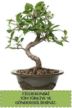 Ficus bonsai  Sakarya cicek , cicekci
