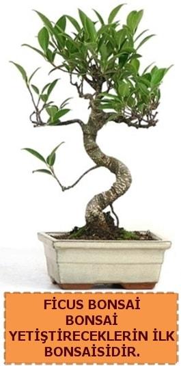 Ficus bonsai 15 ile 25 cm arasındadır  Sakarya cicekciler , cicek siparisi