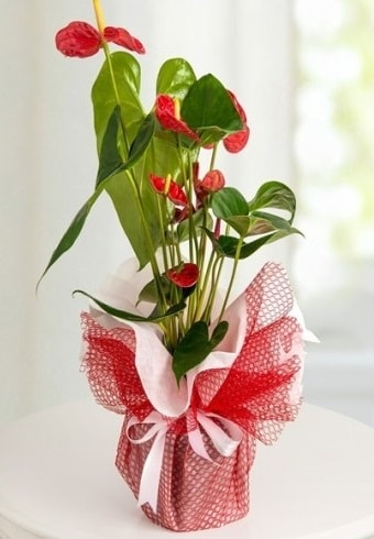 Anthurium Saksı Çiçeği  Sakarya çiçek servisi , çiçekçi adresleri