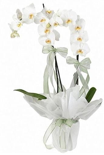 Çift Dallı Beyaz Orkide  Sakarya çiçek satışı