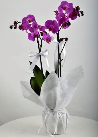 Çift dallı saksıda mor orkide çiçeği  Sakarya çiçek yolla , çiçek gönder , çiçekçi