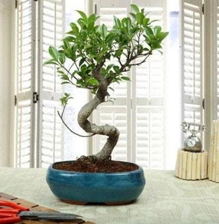 Amazing Bonsai Ficus S İthal  Sakarya online çiçekçi , çiçek siparişi