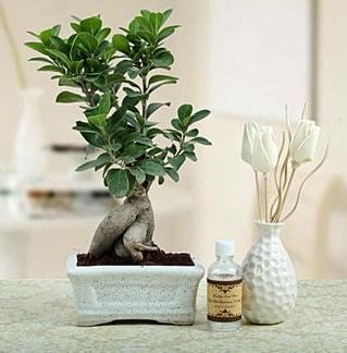 Ginseng ficus bonsai  Sakarya yurtiçi ve yurtdışı çiçek siparişi