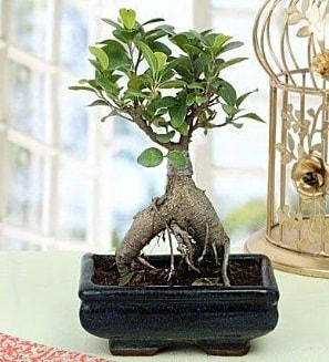 Appealing Ficus Ginseng Bonsai  Sakarya çiçek satışı