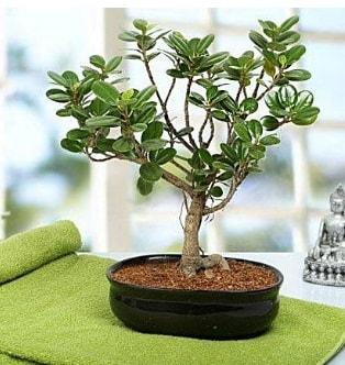 Lovely Ficus Iceland Bonsai  Sakarya çiçek satışı