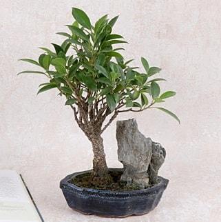 Japon ağacı Evergreen Ficus Bonsai  Sakarya cicek , cicekci