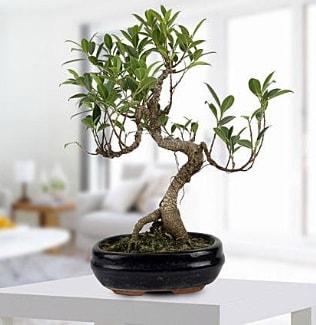 Gorgeous Ficus S shaped japon bonsai  Sakarya çiçekçiler