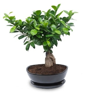 Ginseng bonsai ağacı özel ithal ürün  Sakarya güvenli kaliteli hızlı çiçek