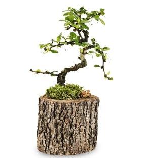 Doğal kütükte S bonsai ağacı  Sakarya anneler günü çiçek yolla