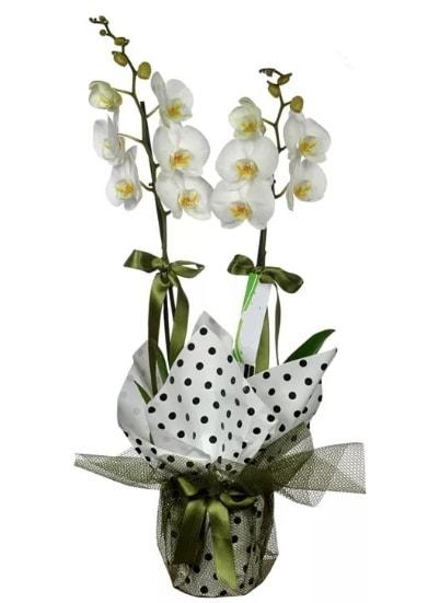 Çift Dallı Beyaz Orkide  Sakarya çiçekçi telefonları