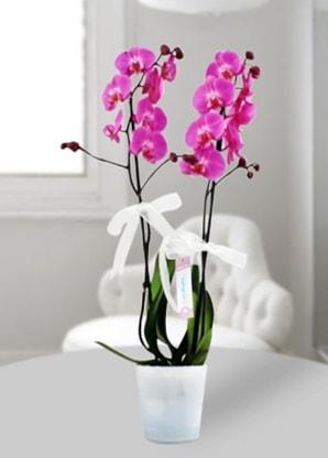 Çift dallı mor orkide  Sakarya yurtiçi ve yurtdışı çiçek siparişi