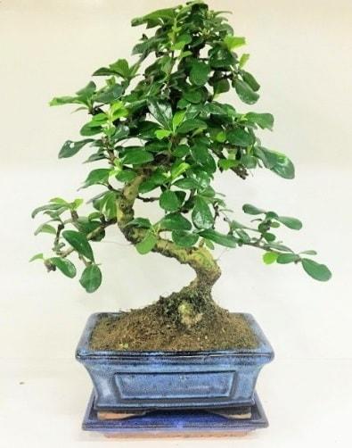 S Bonsai japon ağacı bitkisi  Sakarya çiçek gönderme