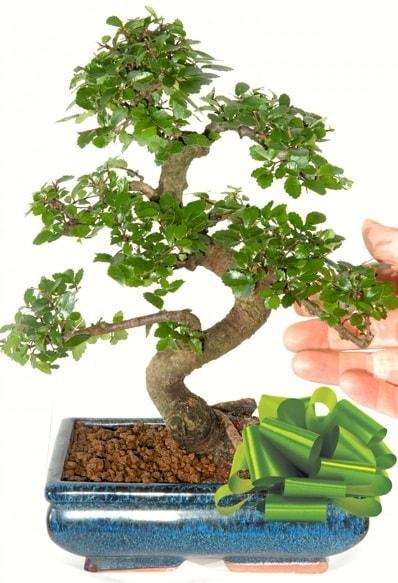 Yaklaşık 25 cm boyutlarında S bonsai  Sakarya kaliteli taze ve ucuz çiçekler