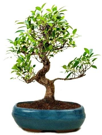 25 cm ile 30 cm aralığında Ficus S bonsai  Sakarya cicek , cicekci