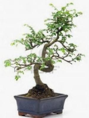 S gövde bonsai minyatür ağaç japon ağacı  Sakarya anneler günü çiçek yolla