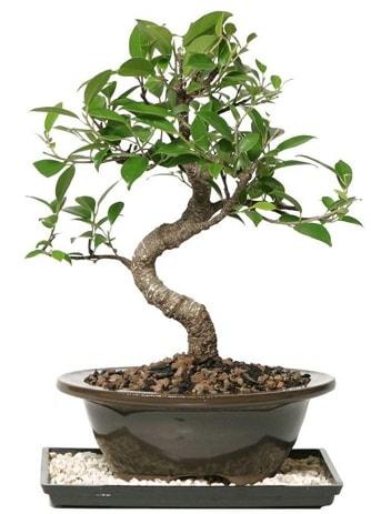 Altın kalite Ficus S bonsai  Sakarya 14 şubat sevgililer günü çiçek  Süper Kalite