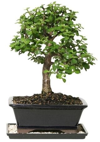 15 cm civarı Zerkova bonsai bitkisi  Sakarya kaliteli taze ve ucuz çiçekler