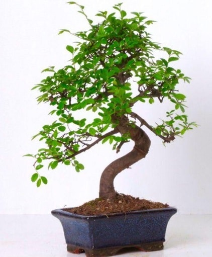 S gövdeli bonsai minyatür ağaç japon ağacı  Sakarya cicek , cicekci